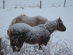 Snow covered horses