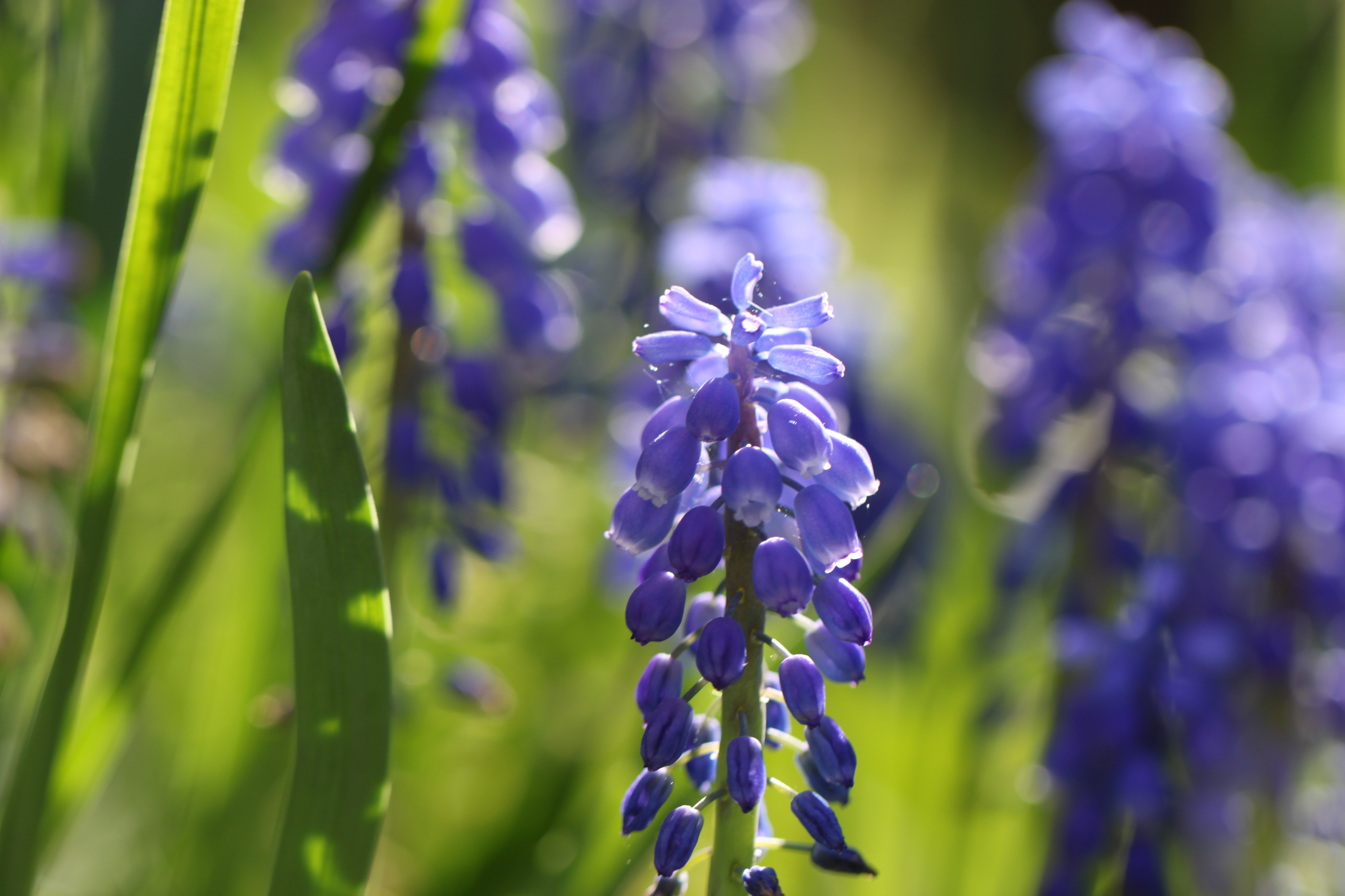 IMG_9547.JPG -  Grape hyacinths  ( Traubenhyazinthen )