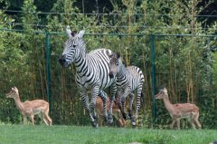 Flying zebra foal