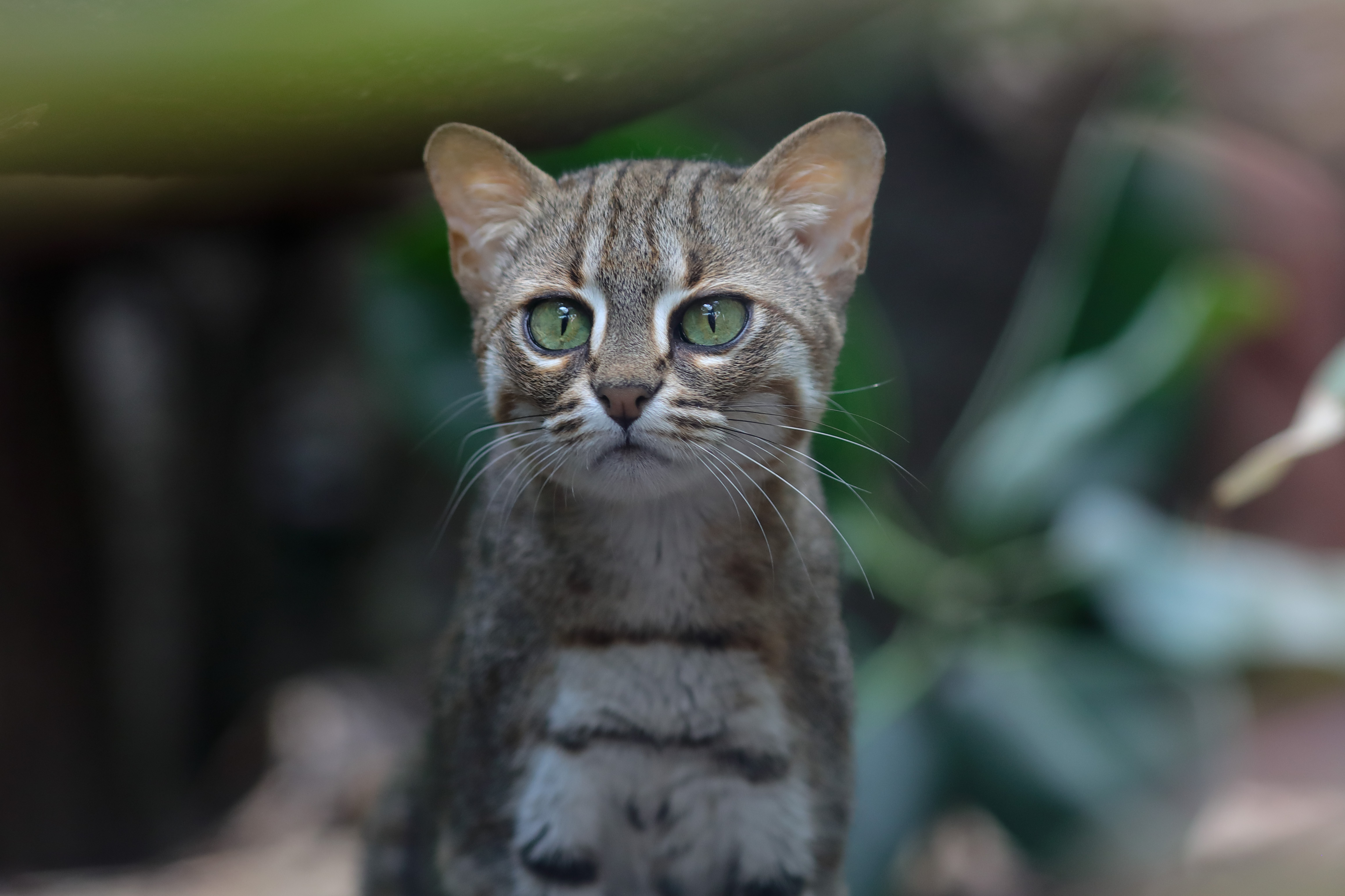 574A8750_c.jpg -  Rusty-spotted cat  ( Rostkatze )