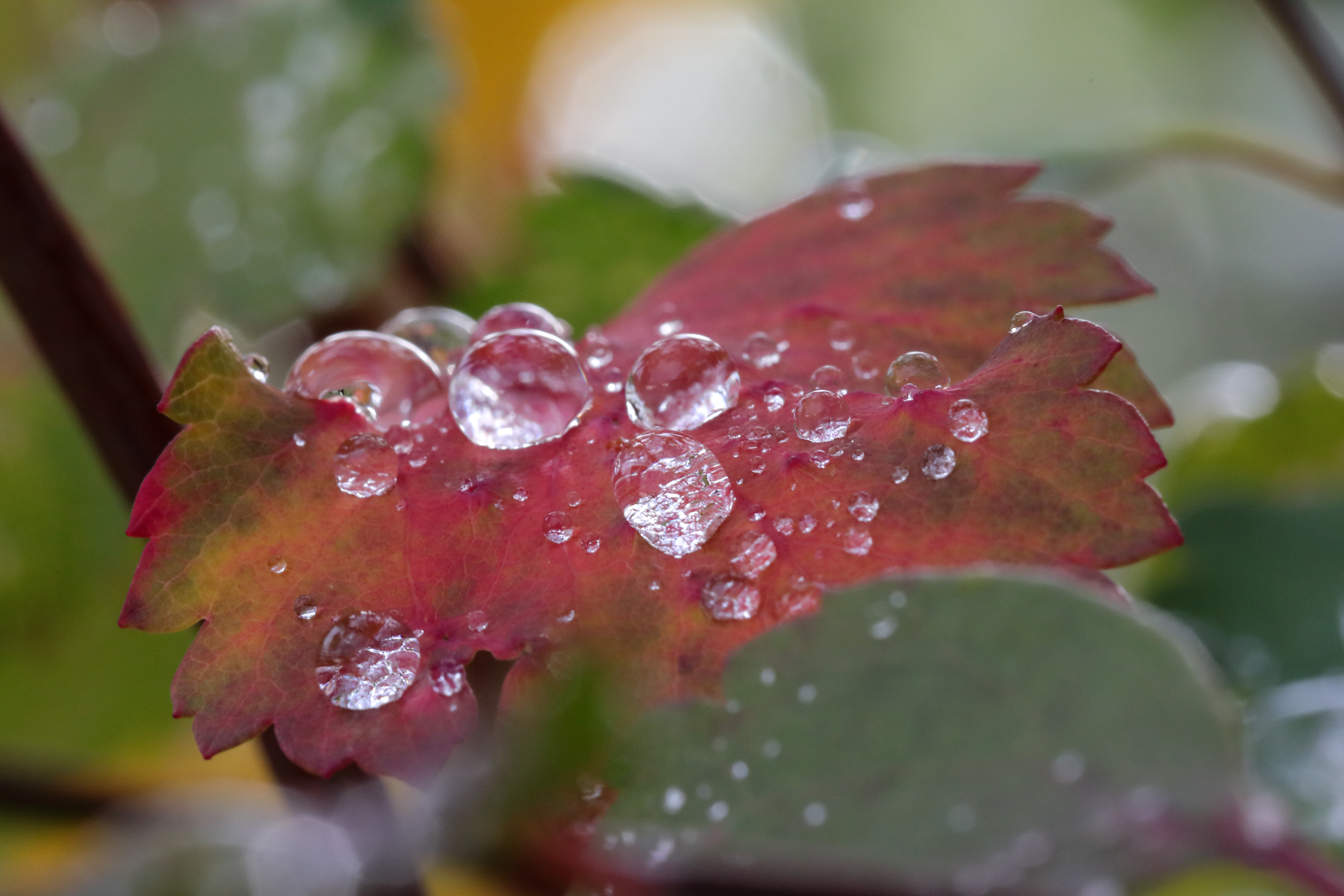 574A9585_c.jpg - Drops on leaf after the rain
