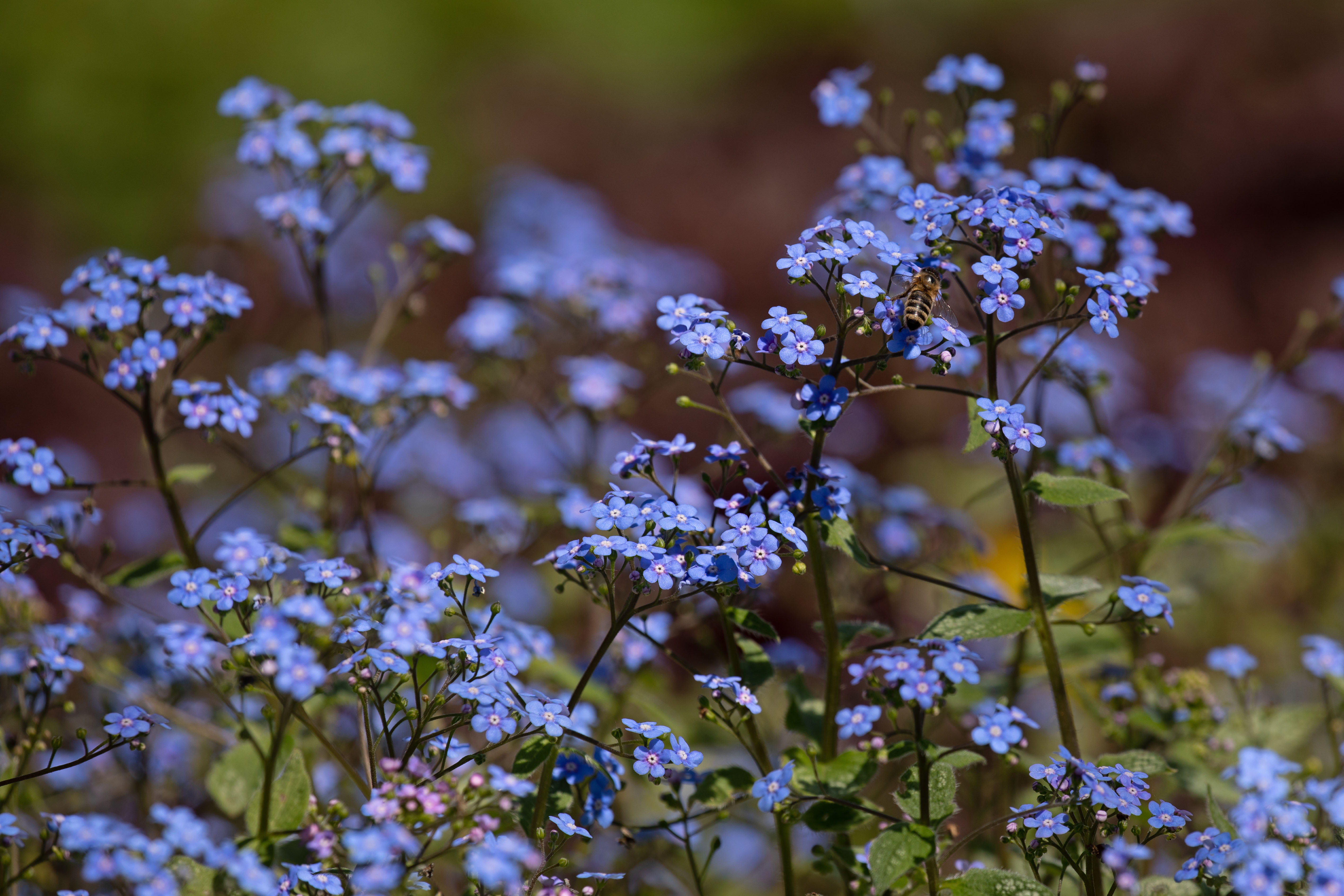 574B9341_c.jpg -  Great forget-me-not  ( Kaukasusvergissmeinnicht )